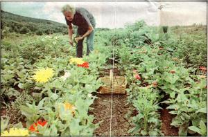 Jean Hotaling picks some of her zinnias