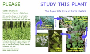 Garlic Mustard images