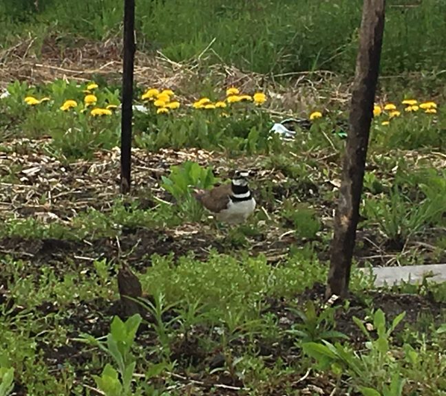 Killdeer bird in the garden